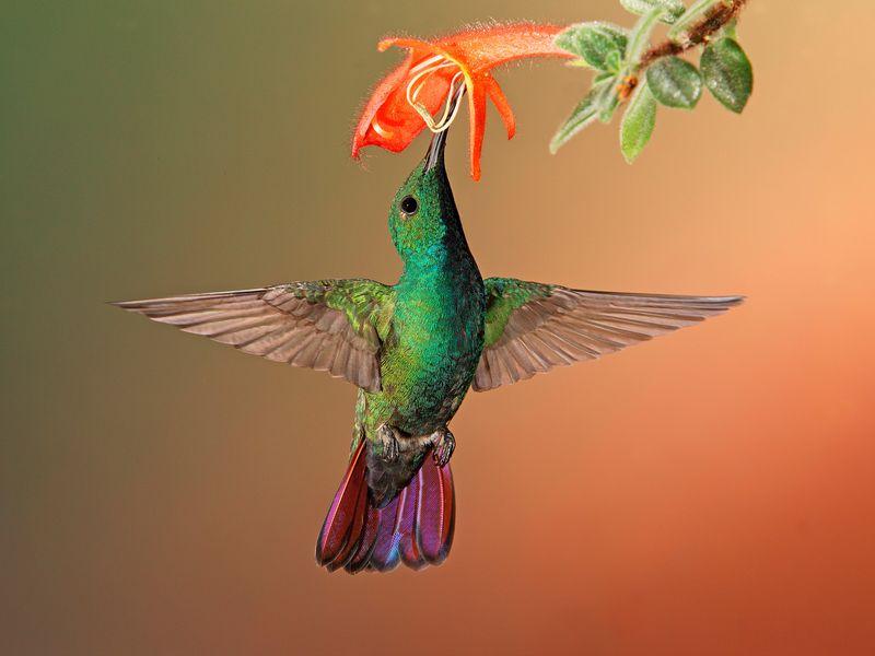 burung_kolibri